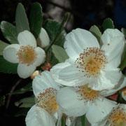 ulmo-træet, som er vært for diesel-svampen, er stedsegrønt og står med kamellia-agtige blomstrer i januar-marts