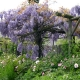 wisteria_01