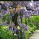 wisteria_02