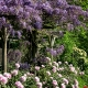 wisteria_03