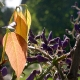 wisteria_09