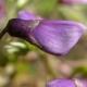 wisteria_11