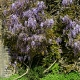 wisteria_13