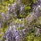 wisteria_14