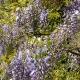 wisteria_14