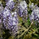 wisteria_15