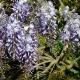 wisteria_15
