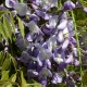 wisteria_16
