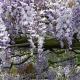 wisteria_31