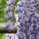 wisteria_34