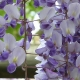 wisteria_35
