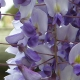 wisteria_36