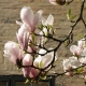magnolia_07