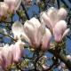 magnolia_10