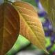 wisteria_10