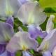 wisteria_17