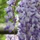 wisteria_34