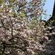 magnolia_04