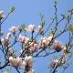 magnolia_05