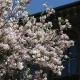 magnolia_09