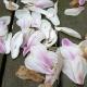 magnolia_11
